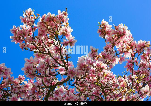 magnolienbaum stock photos magnolienbaum stock images. Black Bedroom Furniture Sets. Home Design Ideas