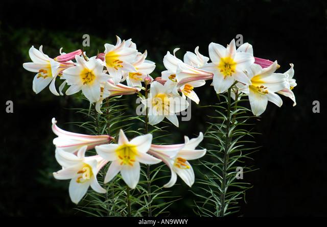 how to grow lilium regale