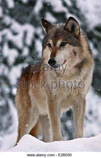 a history of the species canis rufus also knows as red wolf Related to the red wolf (canis rufus), an endangered species in the southeastern   cosewic status history: in 1999, the eastern grey wolf (canis lupus lycaon)  was  13 also known as apex predators or super predators, these organisms.