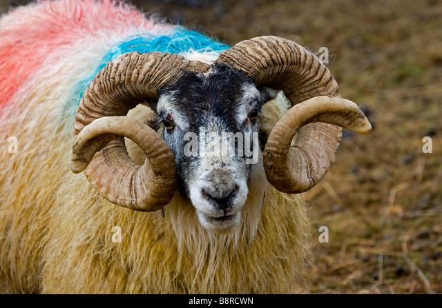 sheep scottish blackface lamb scotland stock photos