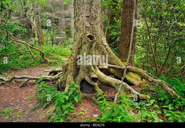 Tree roots smoky mountains stock photos