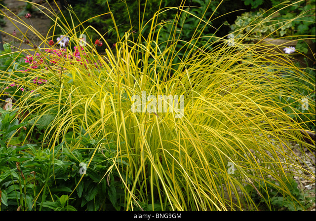 Variegated grass stock photos variegated grass stock for Variegated ornamental grass