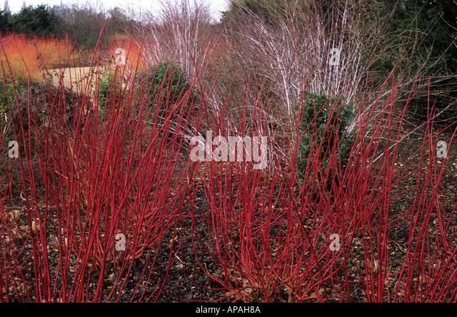 winter garden cornus alba sibirica stock photos winter. Black Bedroom Furniture Sets. Home Design Ideas