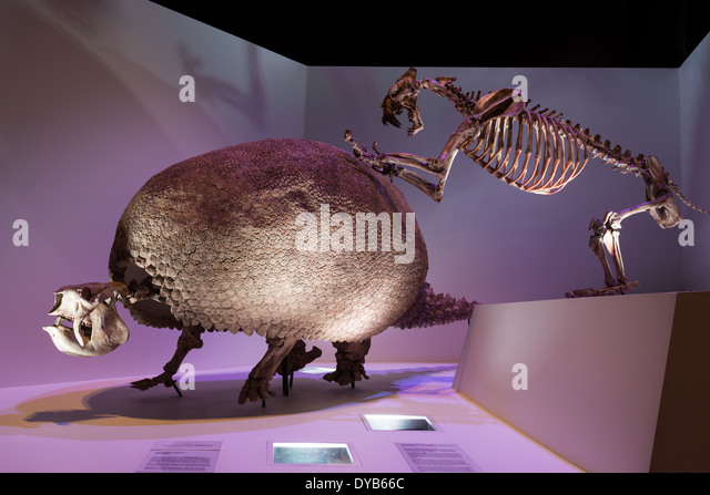 fossil skeleton of giant glyptodon stock image