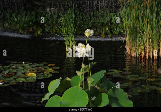 Lotus basu flower stock photos lotus basu flower stock images alamy lotus scientific name nelumbo chawan basu growing in the duck pond in battery park mightylinksfo