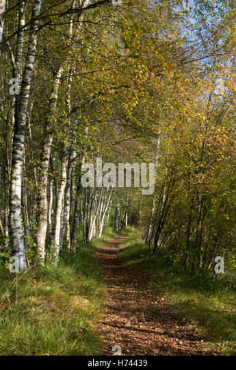 path in the birch - photo #6