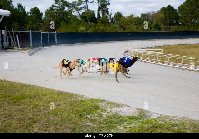 Racing Greyhound Stock Photos & Racing Greyhound Stock ...