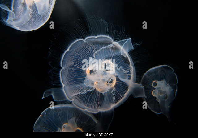 cnidaria true jellyfish There are 10,000+ species in the phylum cnidaria, and the vast majority occur in marine systems examples include hydroids, true jellyfish, sea anemones and corals of the six proposed taxonomic .