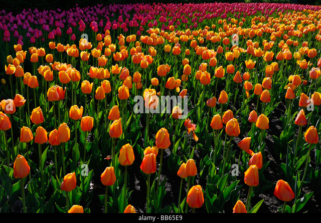 Garden of backlit orange Blushing Apeldoorn and pink Attila Tulips at ...