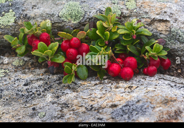 Lingonberry jam and lingonberries in glass bowls over white. Fresh red ...