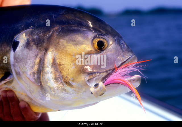 Crevalle stock photos crevalle stock images alamy for Flying fish savannah ga