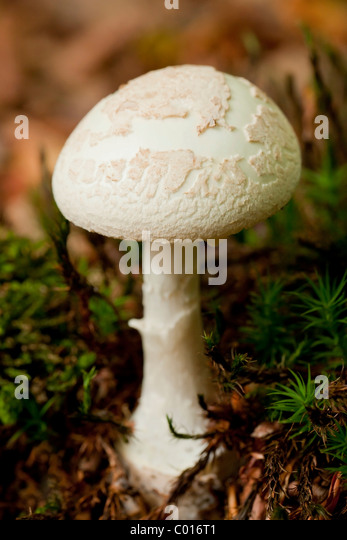 death cap mushroom The death cap mushroom likely kills and poisons more people every year than  any other mushroom now there finally appears to be an.