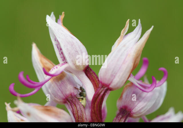 Wild pink orchid flowers stock photos wild pink orchid for Anatolia mediterranean cuisine orlando