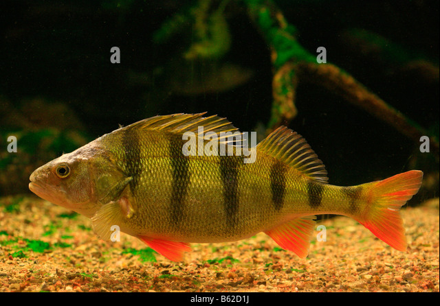 Largest freshwater fish stock photos largest freshwater for Big freshwater aquarium fish