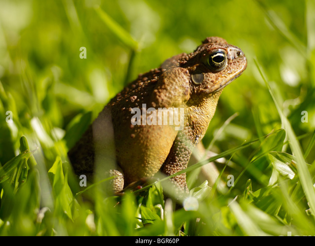 cane toads in australia Invasive, toxic and a major threat to australia's native predators, the cane toad ( rhinella marina) has been a relentless coloniser of australia's.