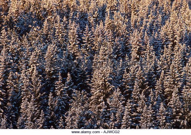 Taiga Boreal Forest Coniferous Evergreen Stock Photos & Taiga ...