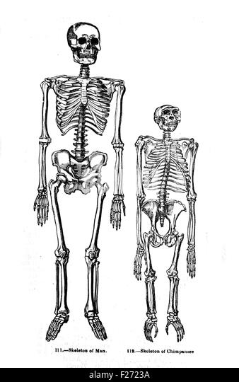 human skeletons stock photos & human skeletons stock images - alamy, Skeleton