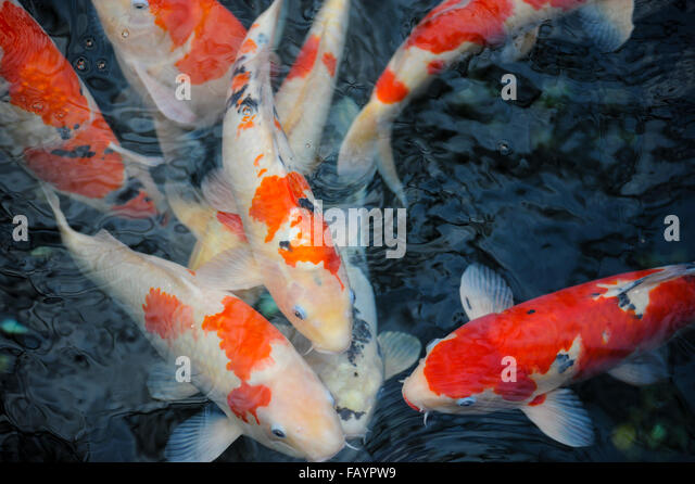 Rikugien garden stock photos rikugien garden stock for Japanese koi names
