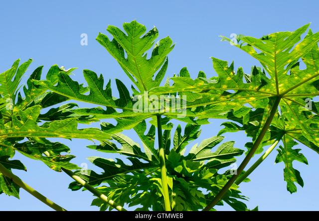 papaya leaves thesis Chemical composition of leaves, fruit pulp and seeds in some carica papaya (l ) morphotypes godson e nwofia 1, philipa ojimelukwe 2, chinyere eji2.