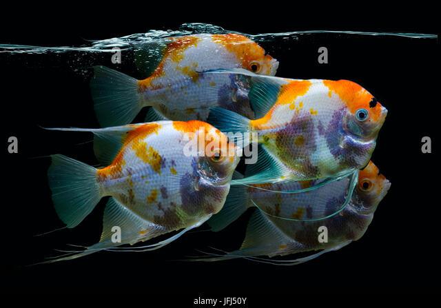 Scalare stock photos scalare stock images alamy for Skalar aquarium