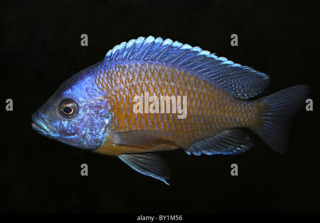 Malawi cichlid stock photos malawi cichlid stock images for Lake malawi fish