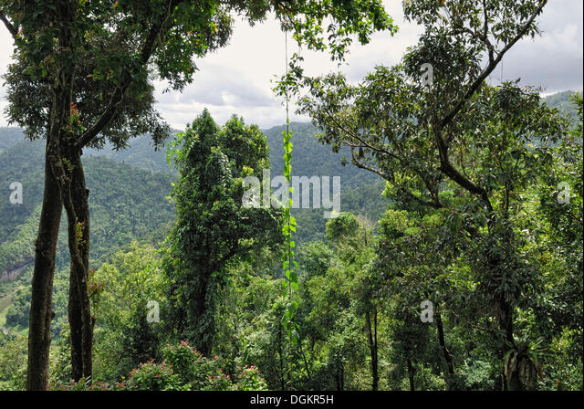 View of the rain forest Mamu Rainforest Canopy Walkway Wooroonooran National Park Queensland & Rainforest Canopy Walkway Stock Photos u0026 Rainforest Canopy Walkway ...