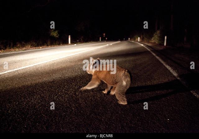 Roadkill Deer Night