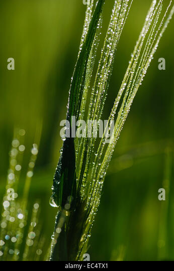 Awns Of The Barley With Water Drops