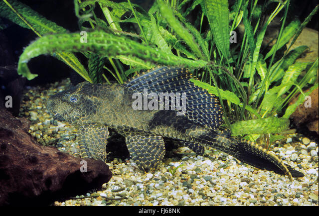 Spotted Pimelodus  : Spotted sailfin sucker catfish, Honeycomb sail Pleco (Glyptoperichthys ...