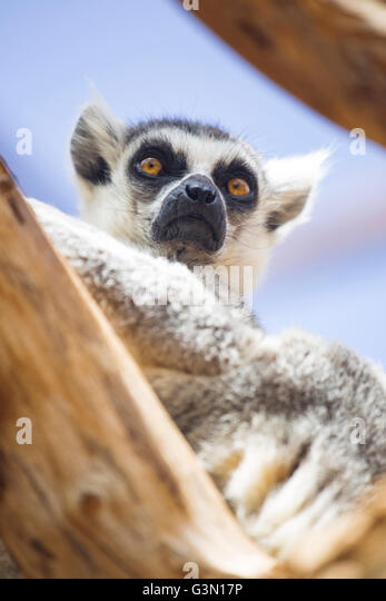 Ring Tailed Lemur Behaviour In Captivity