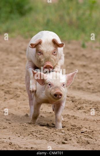 Modern Pig Sty: Hybrid Pigs Stock Photos & Hybrid Pigs Stock Images
