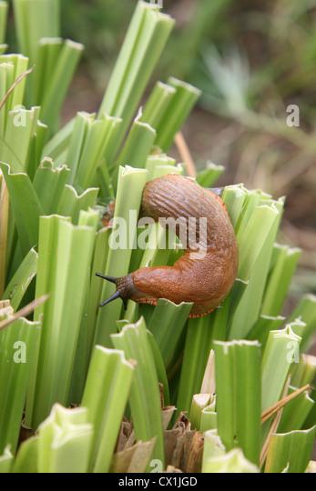 Garden Slugs And Snails Stock Photos Garden Slugs And Snails Stock Images Alamy