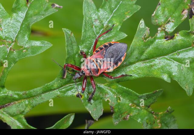 An eastern blood sucking cone nose bug, Triatoma sanguisuga, crawling on a plant leaf. - Stock Image