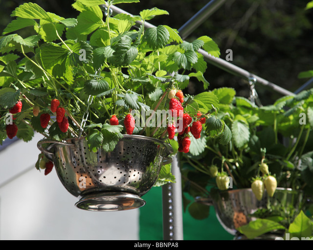 how to grow strawberries to sell
