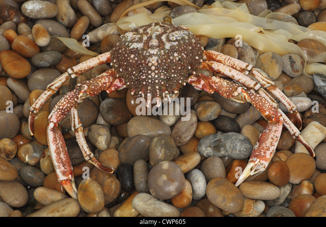 how to cook spiny spider crab