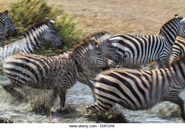 Zebras Running Through Water Zebra Running In Water...