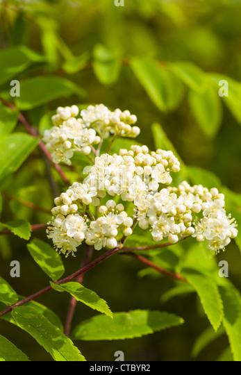 Rowan Tree Flowers