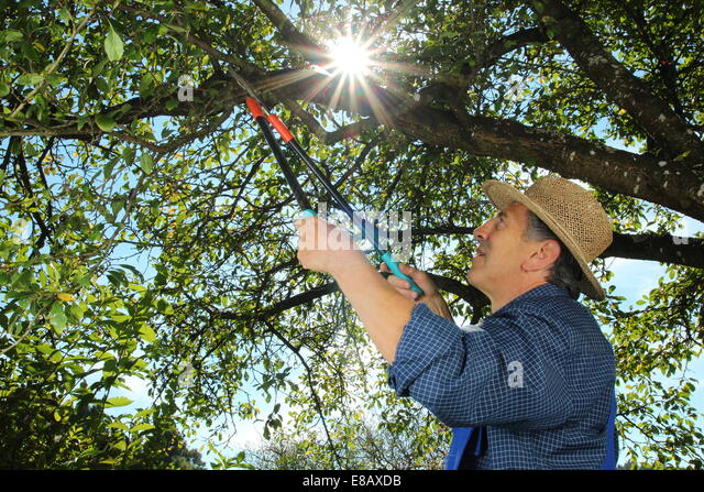 how to cut back an overgrown apple tree