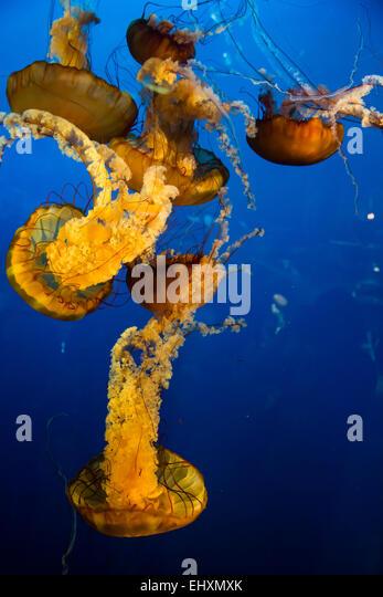 mauve stinger jellyfish australia - photo #17