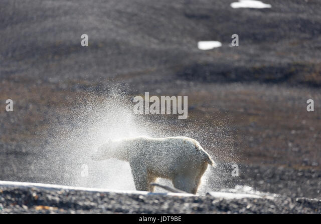 An adult polar bear shakes itself dry after walking ashore onto a shingle beach in Mushamna, Spitzbergen - Stock Image