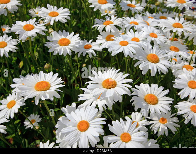 perennial daisies stock photos  perennial daisies stock images, Beautiful flower