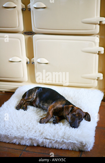 Black and tan Jack Russell terrier pedigree puppy lying on his bed by ...