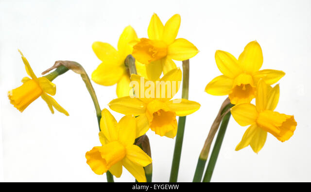 narcissus tete tete dwarf daffodils stock photos. Black Bedroom Furniture Sets. Home Design Ideas