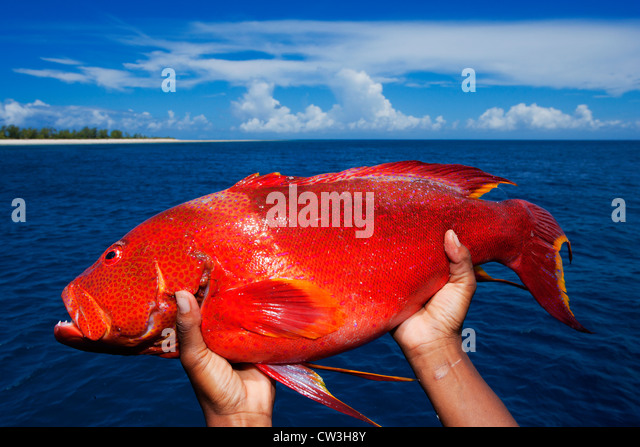 Seychelles fish stock photos seychelles fish stock for Red saltwater fish