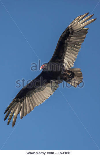 A turkey vulture, Cathartes aura, soars above the Occoquan River. - Stock Image