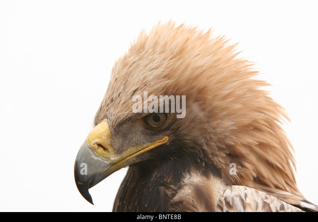 German Imperial Eagle | www.imgkid.com - The Image Kid Has It!
