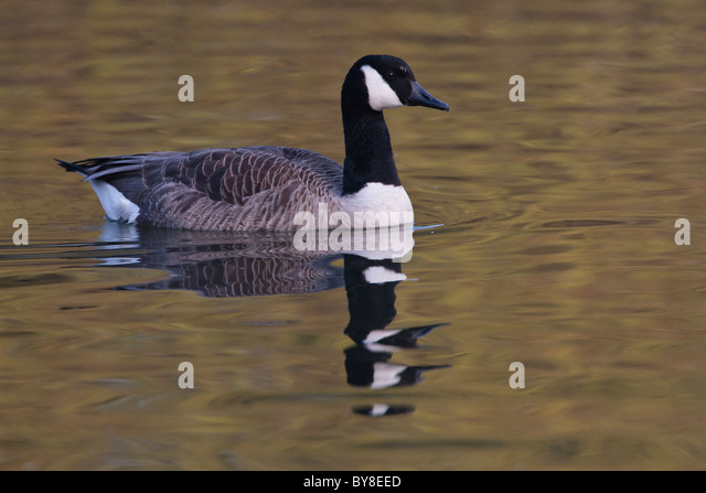 Canada Goose expedition parka outlet price - Canada Goose Reflection Stock Photos & Canada Goose Reflection ...