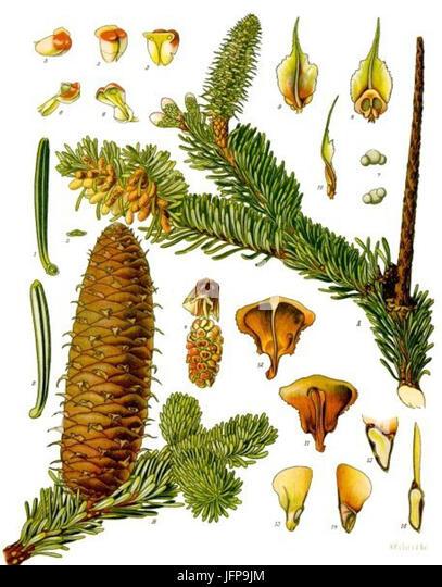 Abies alba - Köhler-s Medizinal-Pflanzen-001 - Stock Image