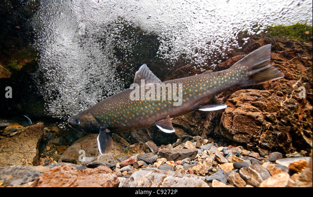 trout creek mature singles The rainbow trout (oncorhynchus mykiss  native to golden trout creek  they mature in fresh water while en route to spawning grounds where they spawn in the spring.