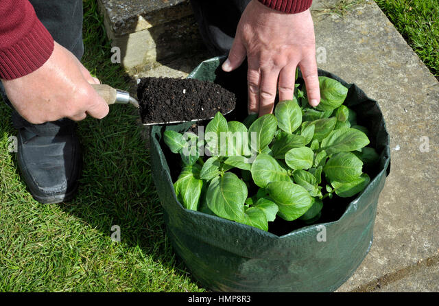 Topping Up Potatoes With Compost Growing In A Space Saving Patio Bag Or  Vegetable Growing Bag